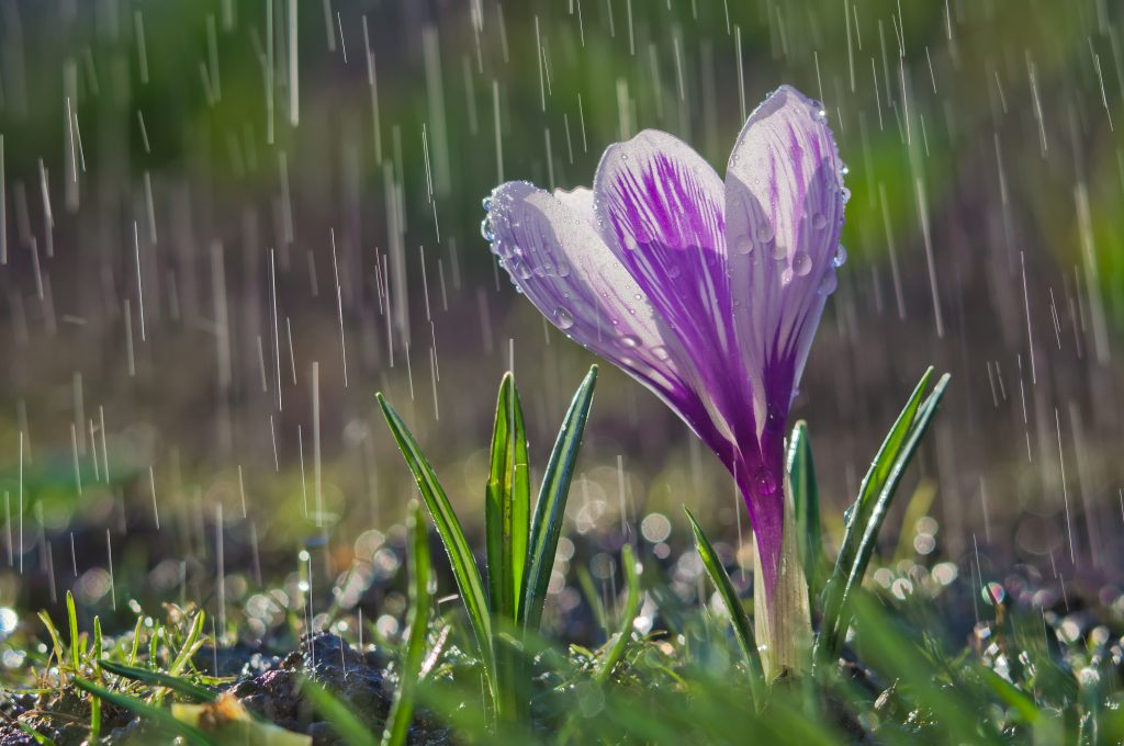 Purple spring flower is showered in rainfall